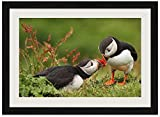 Puffin - Art Print Wall Black Wood Grain Framed Picture(16x12inch)