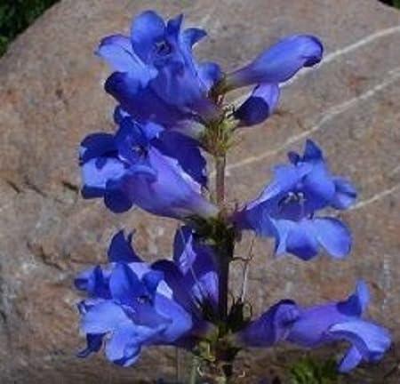 PENSTEMON HETEROPHYLLUS BLUE SPRING FLOWER SEEDS 50 PERENNIAL