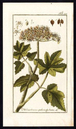 Antique Flora Print-HERACLEUM SPHONDILIUM-COMMON HOGWEED-COW PARSNIP-Zorn-1796