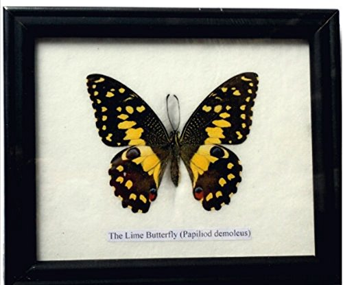 Insectfarm BTF01CLIME Framed Real Lime Butterfly Taxidermy & Insect Gift or Collection