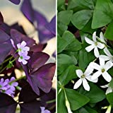 "Oxalis Triangularis and Regnelli Combo - 40 Robust Bulbs - 3/4"" Tubers 