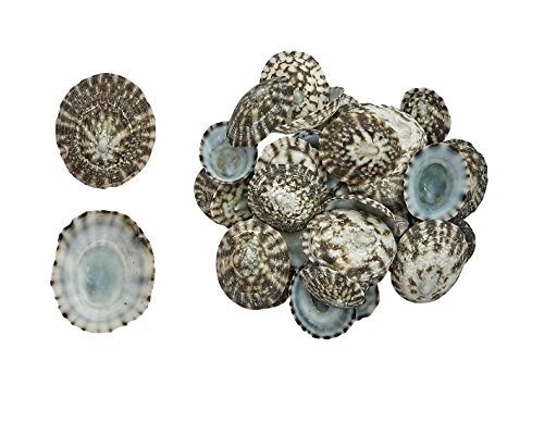 Mexican Green Limpet .5-1''Seashells (approx. 600 pcs.) 1 Kilo by The Seashell Company