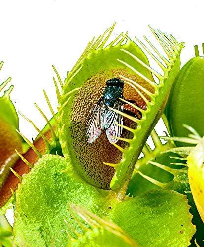 Venus Flytrap/ca.100 semillas/planta carnívora/insectos capturados /: Amazon.es: Jardín