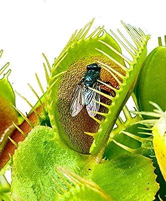 Venus Flytrap/ca.100 semillas/planta carnívora/insectos capturados ...
