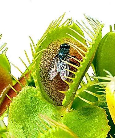 Image result for venusfliegenfalle