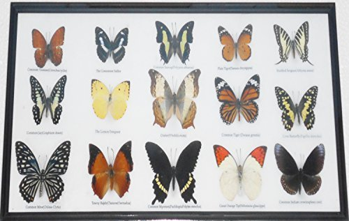 Real 15 framed butterflies Collectible Display Insect TAXIDERMY