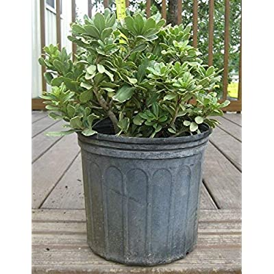 Pittosporum tobira 'Variegata', Japanese Cheesewood - 3 Gallon Live Plant : Garden & Outdoor