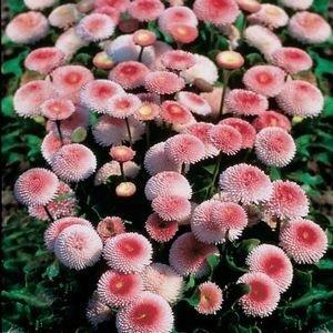 100 STRAWBERRIES & CREAM ENGLISH DAISY Bellis Perennis Tasso Flower Seeds *Comb S/H