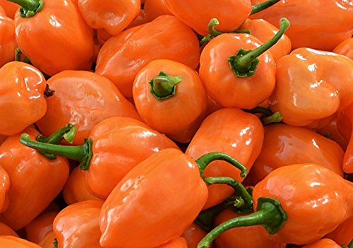 Orange Habanero (Orange Habanero Hot Pepper Seeds- 50+ Seeds)