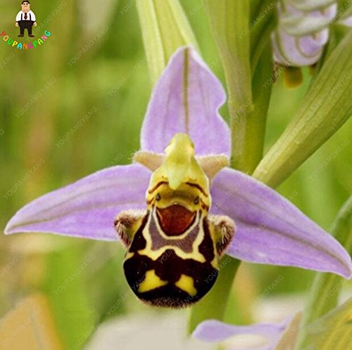Big Sale 100pcs Bee Orchid Seeds Perennial Flowering Plants Potted Seeds Rare Indoor &Home Garden Bonsai Seeds