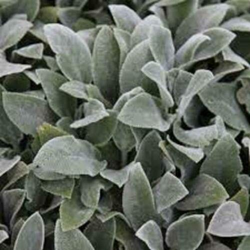 Risala Stachys Byzantina Lambs Ear Perennial Plug Plants Pack x6