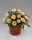 "Parade Cara Miniature Rose Bush - Fragrant/Hardy - 4"" Pot"