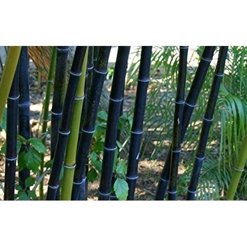 hot sale 50 seeds/bag rare BLACK BAMBOO SEEDS - Phyllostachys Nigra