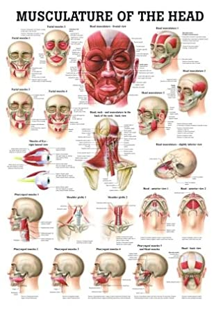 Muscles Of The Head Laminated Anatomy Chart Amazon Industrial