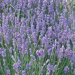 hidcote blue lavender herb 4 perennial. Black Bedroom Furniture Sets. Home Design Ideas
