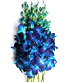 Just Orchids - Fresh Blue Dendrobium Orchids