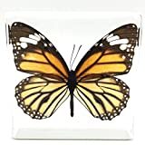 Tiger Butterfly Paperweight Paperweights Specimen Specimens Collection Display(3''x3''x1'')
