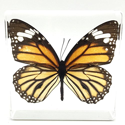 Tiger Butterfly Paperweight Paperweights Specimen Specimens Collection Display(3
