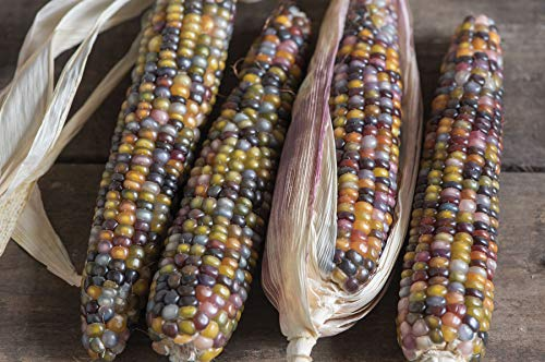 - David's Garden Seeds Corn Dent Glass Gem SL1010 (Multi) 100 Non-GMO, Heirloom Seeds