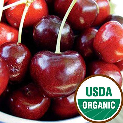 Starking Hardy Giant Antique Organic Sweet Cherry Semi-Dwarf - Ships 3-4' Tall and/or with a 3/8