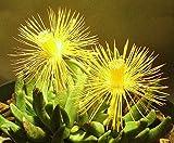 Seeds Hereroa Incurva Rare Mesemb Rock Ice Plant Succulent Cacti Seed 100 Seeds
