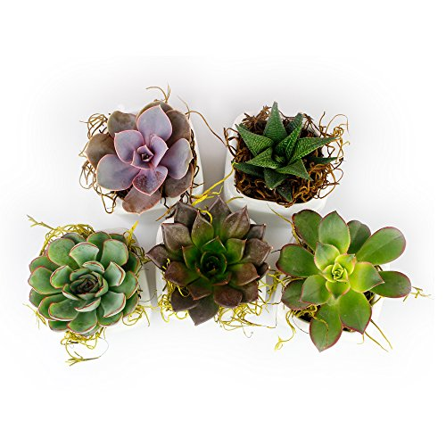 NW Wholesaler - Set of 50 or 100 Live Succulents with Moss and Pots for Wedding Favors, Party Favors or Succulent Gardens (50) by NW Wholesaler (Image #3)