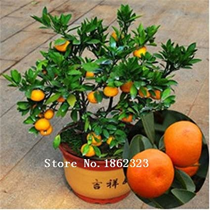 50pcs Edible Fruit seeds Mandarin Bonsai Tree Seeds, Citrus Bonsai Mandarin Orange Seeds SVI