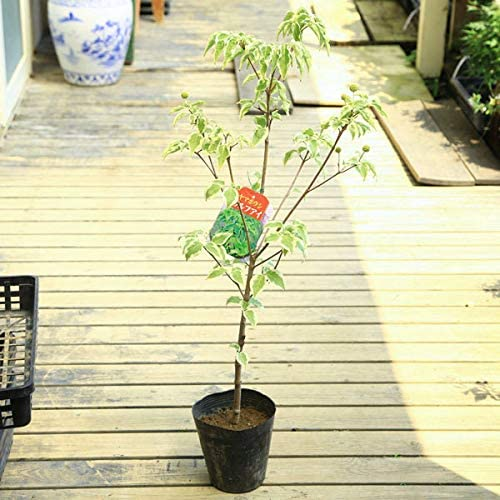 庭木・植木苗:ヤマボウシ(ウルフアイ)樹高60cm