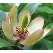 Banana Shrub, Michelia Figo (Magnolia Figo), Shrub Seeds (Fragrant) 10 Seeds