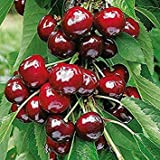 Dwarf Black Cherry Tree 15 Seeds Cherry Fruit Bearing Tree (Prunus serotina)