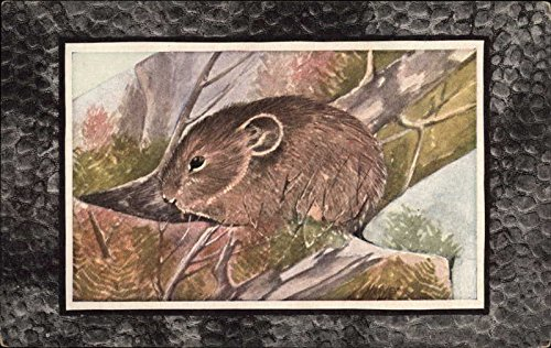 Little Chief Hare or Pika Other Animals Original Vintage Postcard from CardCow Vintage Postcards