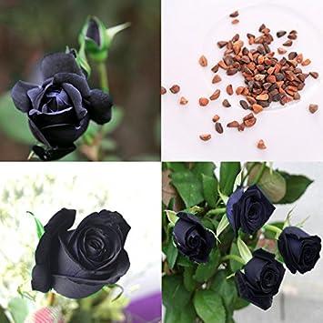 Rosepoem 100pcs Black Rose Blumen Pflanzen Samen Blume Hausgarten