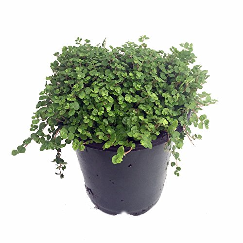 Baby Tears Plant - 4