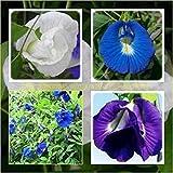 Kolkata Orchid Online { BLUE + White NEELKANTA} BUTTERFLY PEA 20 SEEDS CLITORIA TERNATEA VINE FLOWER