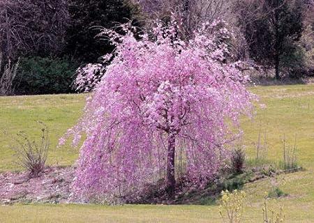 Amazon Com 5 Seeds Dwarf Weeping Purple Cherry Tree Flowering
