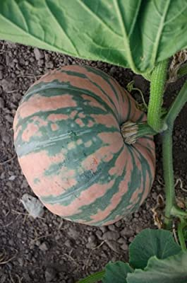 NE Seed Speckled Pup F1 Hybrid Mini Kabocha Winter Squash Seeds
