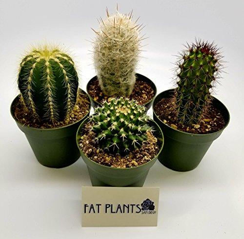 Cactus Saguaro (Fat Plants San Diego Large Cactus Plant(s) (4))