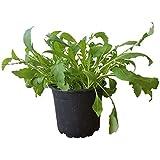 Rucola - Rucola-Pflanze im großen Topf vom Gärtner