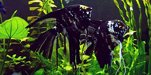 - WorldwideTropicals Live Freshwater Aquarium Fish - Medium Quarter-Sized Body Black Marble Angel Fish - (M) BLACK MARBLE ANGEL- by Live Tropical Fish - Great For Aquariums - Populate Your Fish Tank!