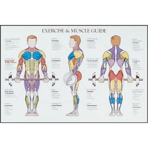 Power Systems Exercise and Muscle Chart, Laminated Full-Color Poster, 36 x 24 Inches (69968) by Power Systems