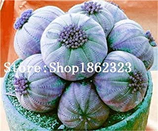 Pinkdose 100 pc Vari Semi Lithops Living Stone Flower Cactus Semi Rare Succulente Bonsai colorato Carnoso pianta Facile Grow Giardino: 15