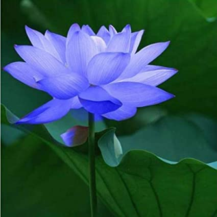 Cioler Seme Di Fiore Fiore Di Loto Piante Idroponiche Piante Acquatiche Semi Di Fiori Vaso Da Giardino Semi Di Bulbi Da Fiore Ornamentali Per Il
