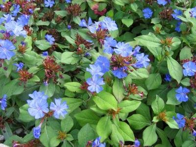 Classy Groundcovers - Dwarf Plumbago, Hardy Blue Plumbago Chinese Leadwort {25 Pots - 3 1/2 in.} by Classy Groundcovers (Image #5)