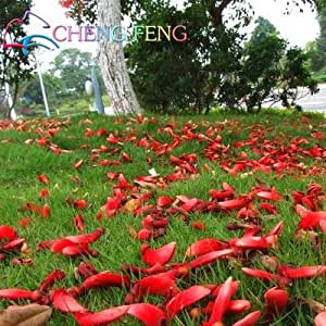 Real seed ! 50pcs/lot Erythrina Crista Galli, Brazilian Shrub seeds beautiful flower bonsai plant DIY home garden
