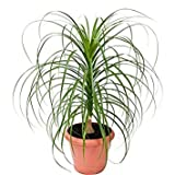 10 Seeds Beaucarnea Guatemalensis (Red Ponytail, Guatamala Ponytail) Indoor Air Purification Plant