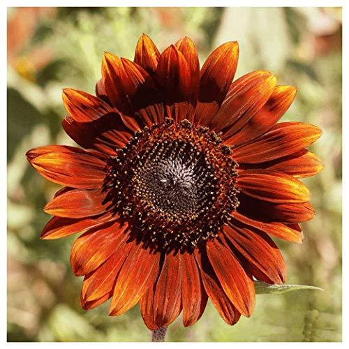 - Everwilde Farms - 1/4 Lb Velvet Queen Sunflower Wildflower Seeds - Gold Vault