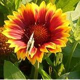 Kokardenblume (Gaillardia aristata 'Kobold')