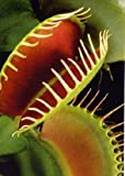 Tropica - venere acchiappamosche (Dionaea muscipula) - 10 semi incluso substrato di coltivazione