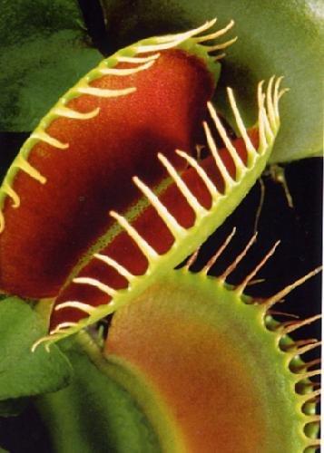 47 opinioni per Tropica- venere acchiappamosche (Dionaea muscipula)- 10 semi incluso substrato