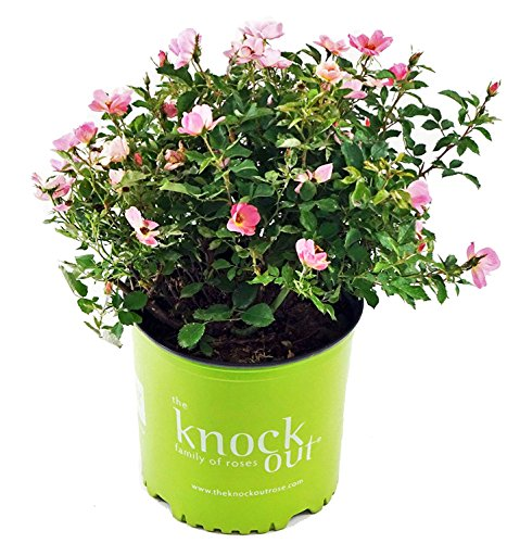 Knock Out Roses - Rosa Rainbow Knock Out (Rose) Rose, pink & yellow flowers, #3 - Size Container